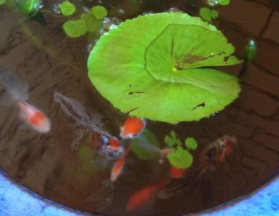 Adding Fish To Your Pond